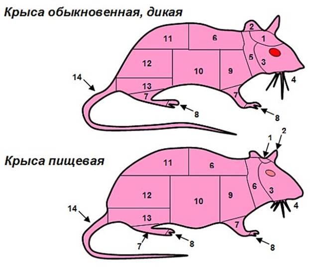 Схема разделки туши крысы (с